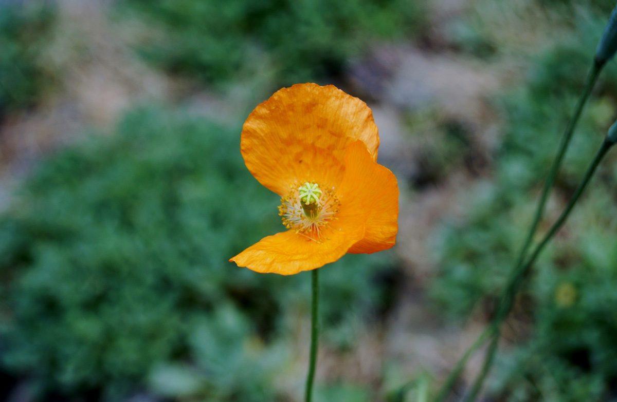 Imperfect poppy