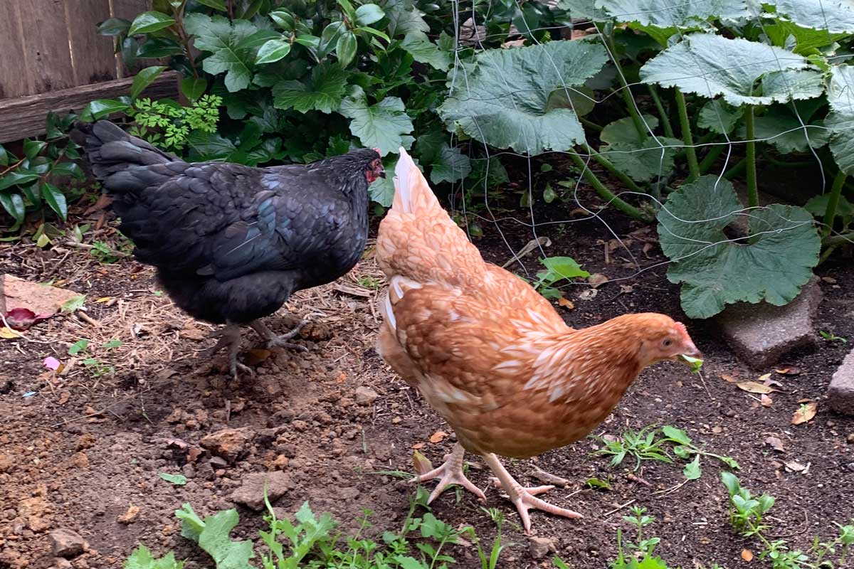Becoming Chicken Keepers